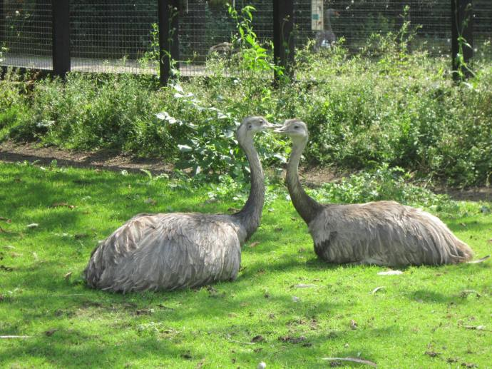 Emus: Native to Australia, the second largest birds in the world by height.