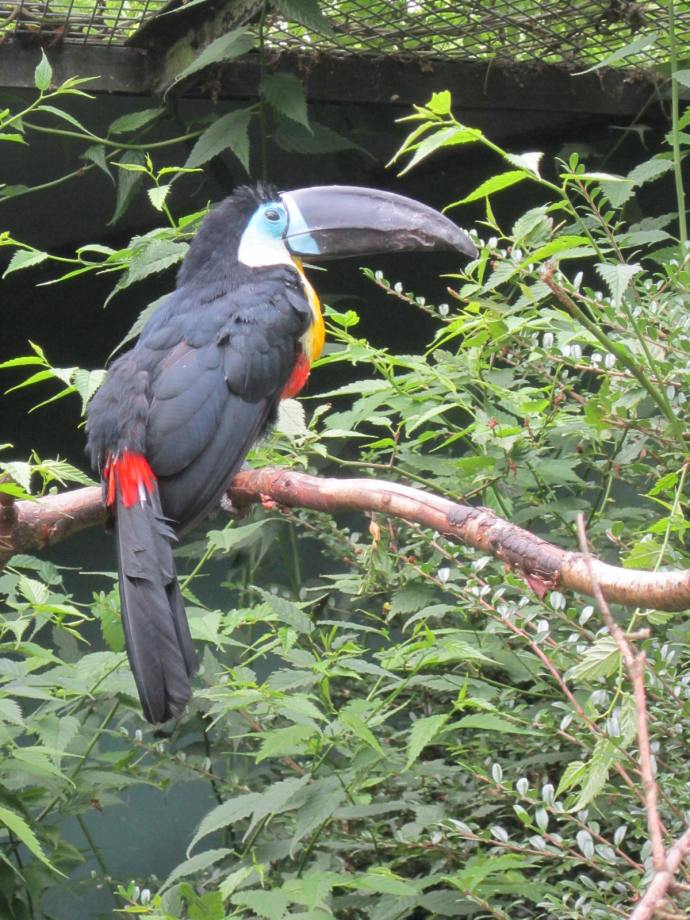 Toucan: They nest in tree holes and usually have two to four eggs each year.